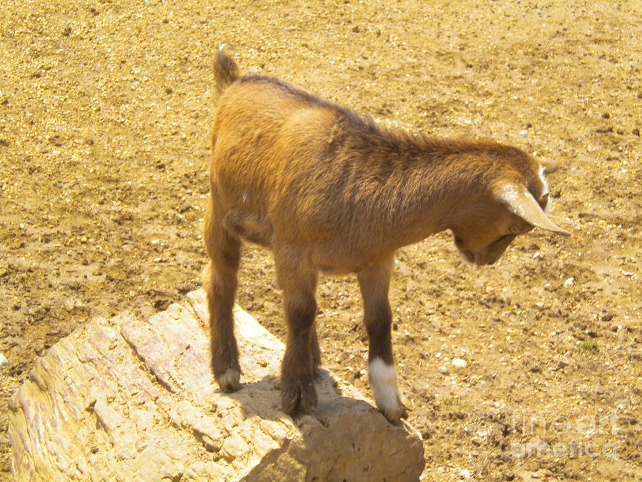 Goat Photograph - Shy Goat by Tessa Priddy