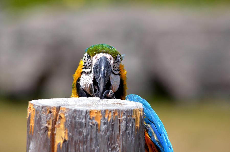 Shy Macaw by Rafay Zafer