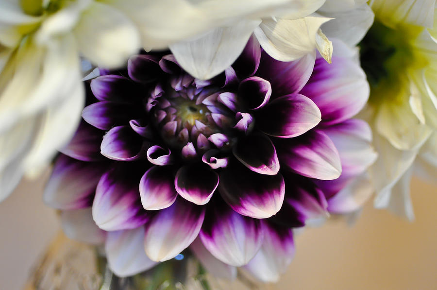 shy purple dahlia photograph by ronda broatch