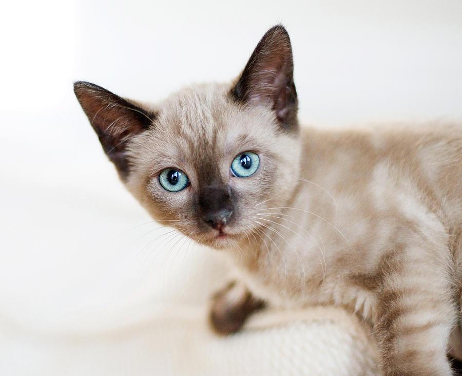 Siamese Cat Pictures Print