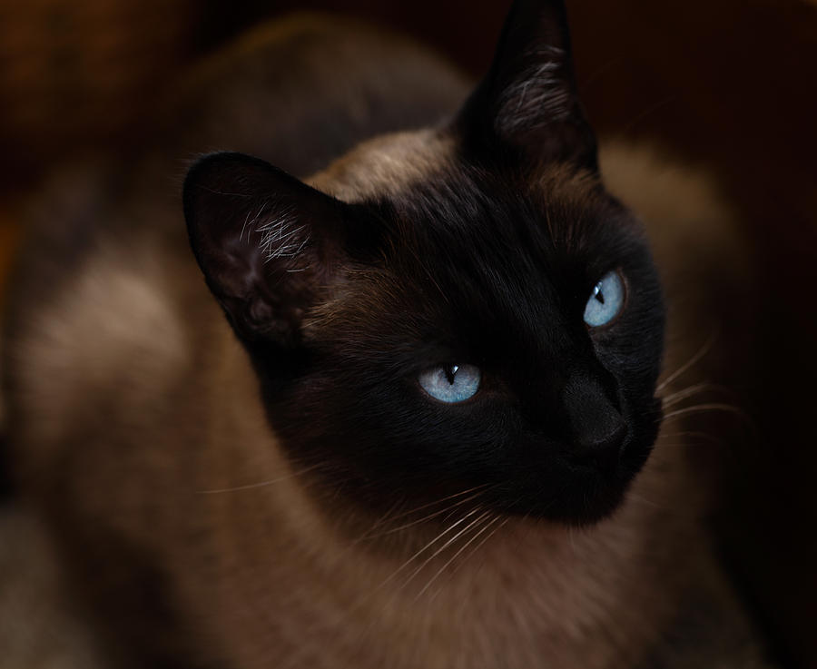 Cat Photograph - Siamese by Tim Reaves