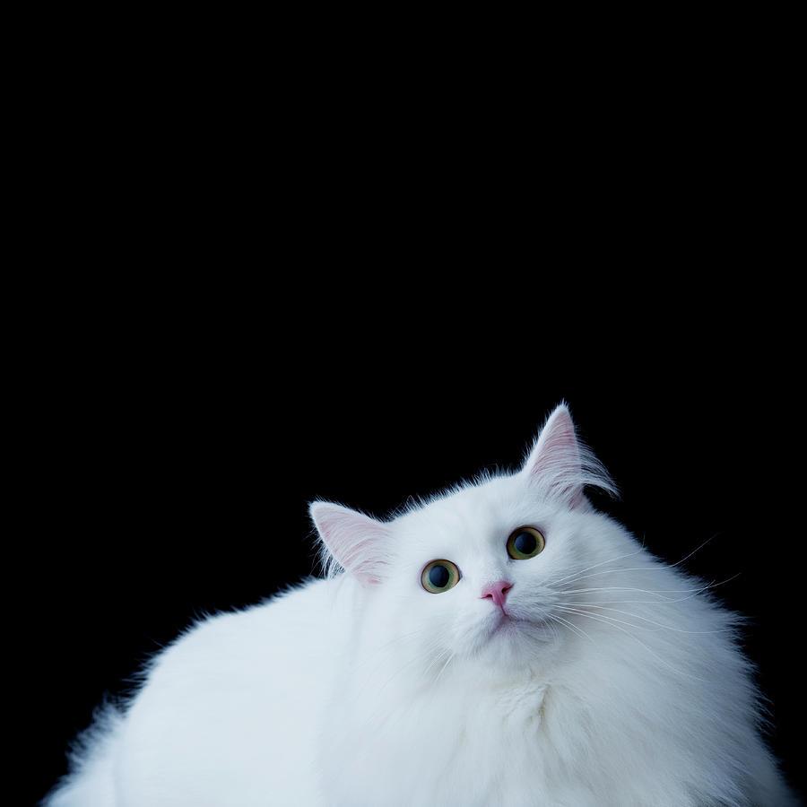 Owled Blue Cat