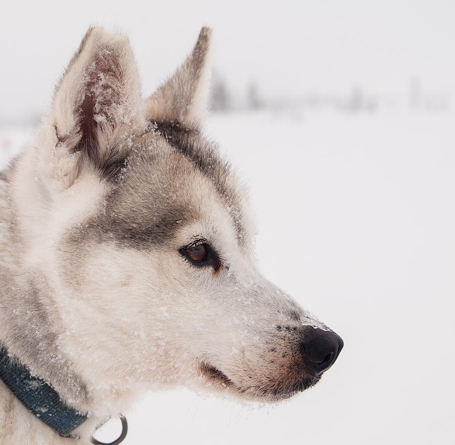 Siberian Husky With Snow Photograph by Eva Mårtensson