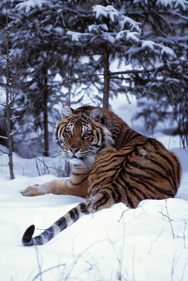 Cold Photograph - Siberian Tiger Lying On Mound Of Snow by Natural Selection David Ponton