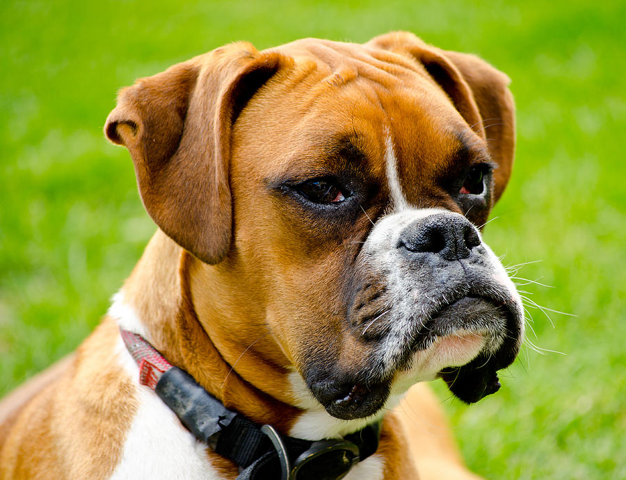 Boxer Dog Photograph - Sidney The Boxer by Chris Thaxter