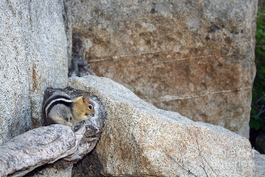 Chipmunk Photograph - Sierra Nevada Chipmunk by Juan Romagosa