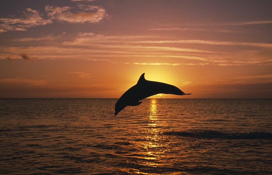 Horizon Photograph - Silhouette Of Leaping Bottlenose by Natural Selection Craig Tuttle
