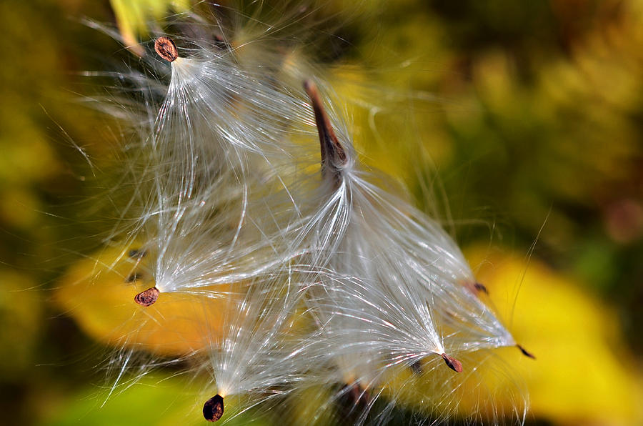 Plant; Weed; Milkweed; Asclepias Syrica; Perennial;  Silk; Season;  ; Fall; Colorful; Fluffy; Wild; Nature; Seeds; Pod; Group; Many Photograph - Silky Autumn by Susan Leggett