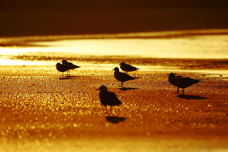 Silver Gull Photograph - Silver Gulls On Golden Beach by Andrew McInnes