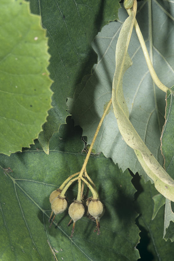 Silver lime tree fruits tilia tomentosa photograph by