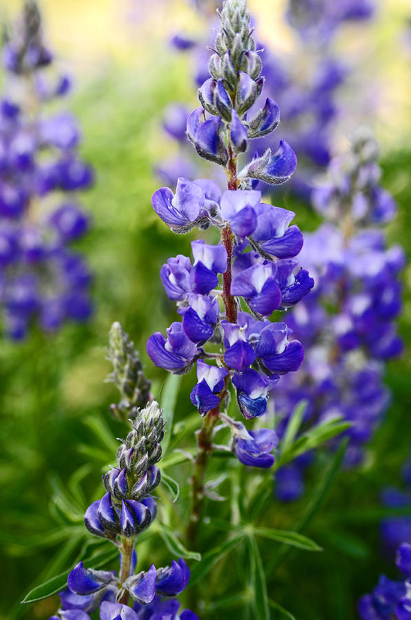 Wildflower Photograph - Silver Lupine Colorado Mountain Meadow by The Forests Edge Photography - Diane Sandoval