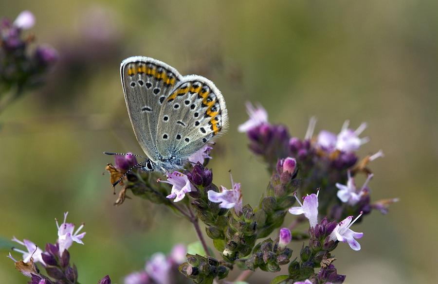 Angiosperm Photograph - Silver-studded Blue On Marjoram by Bob Gibbons