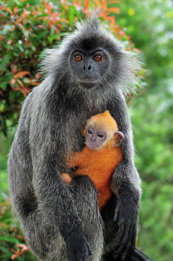 Mp Photograph - Silvered Leaf Monkey Trachypithecus by Thomas Marent