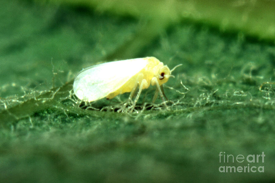 Silverleaf Whitefly Photograph - Silverleaf Whitefly by Science Source