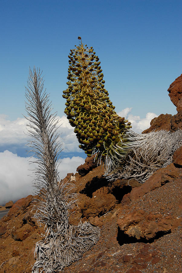 Haleakala Photograph - Silversword On Haleakala by Scott Massey