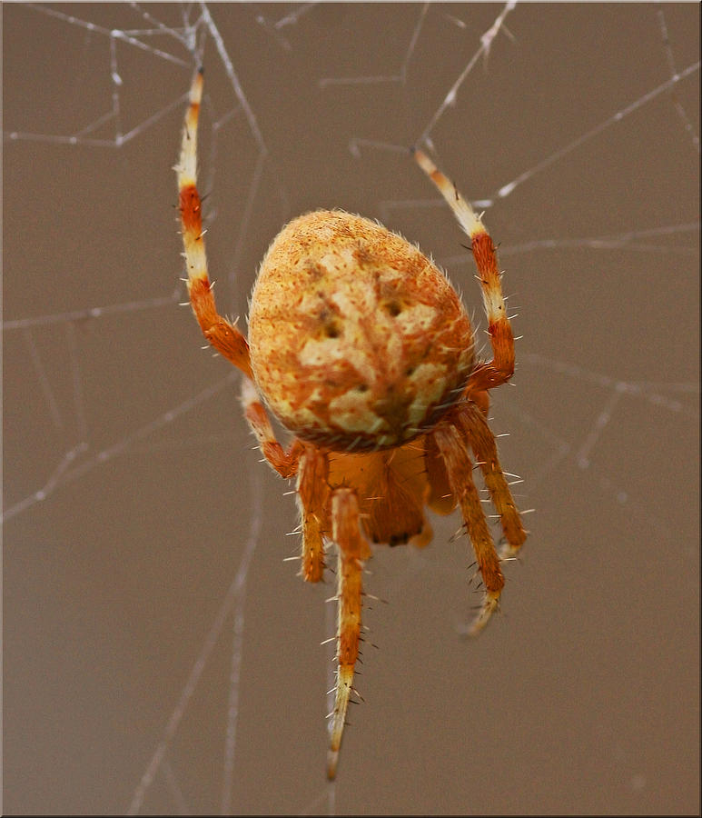 Spider Photograph - Simba The Spider by Chet King