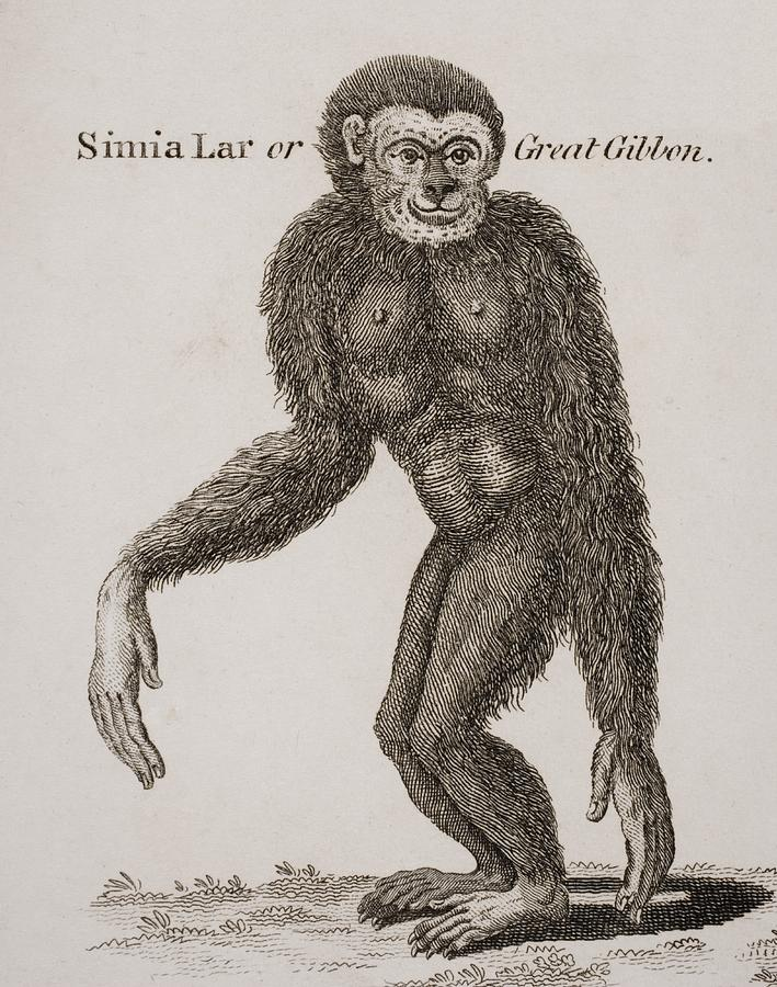 Animal Photograph - Simia Lar, Great Gibbon. Engraved By by Ken Welsh