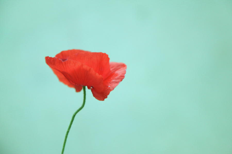 Horizontal Photograph - Simple Red Poppy On Turquoise Blue by Poppy Thomas-Hill