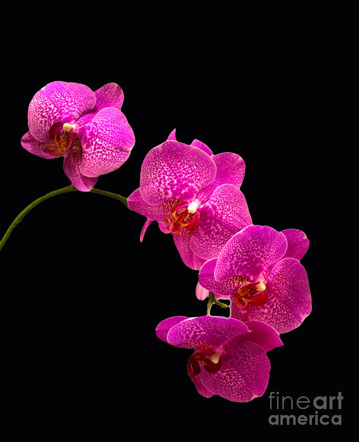 Orchid Pyrography - Simply Beautiful Purple Orchids by Michael Waters