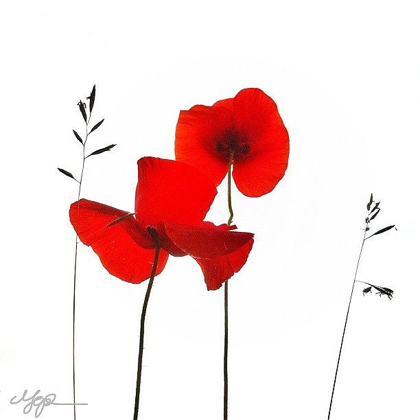 simply Poppies 3 Good Morning!! Photograph by Marianne Hope