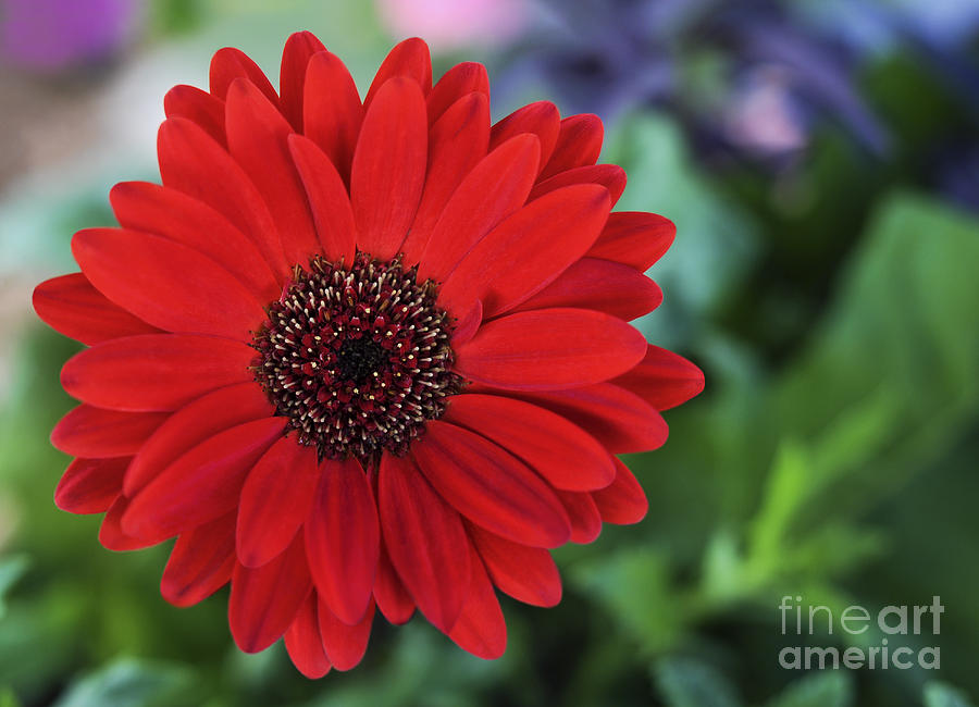 Flower Photograph - Simply Red by Jane Brack