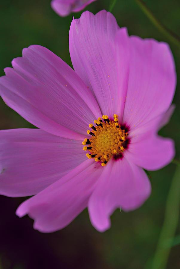 Flower Photograph - Sincerity by Michelle Cruz