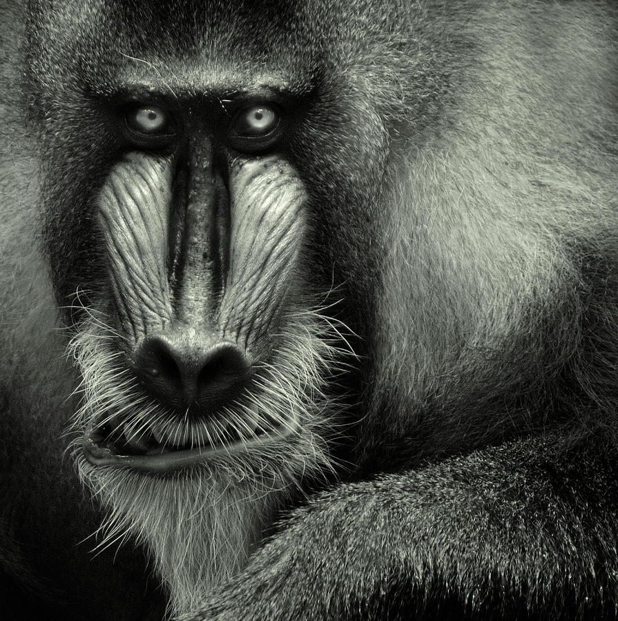 Vertical Photograph - Singapore Zoo, Mandrill by By Toonman