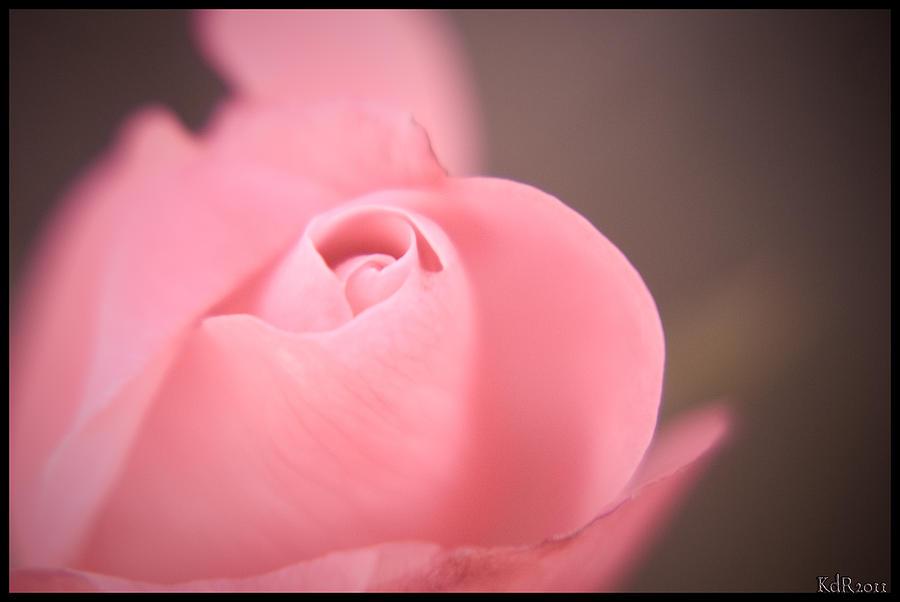 Pink Rose Photograph - Single Pink Rose by Kelly Rader