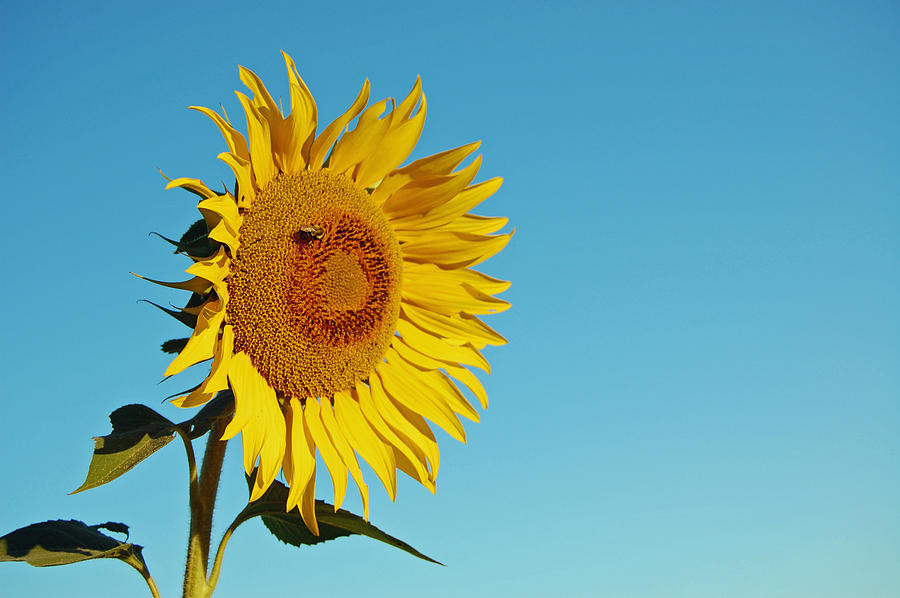 single sunflower photograph by joyce huhra, Beautiful flower