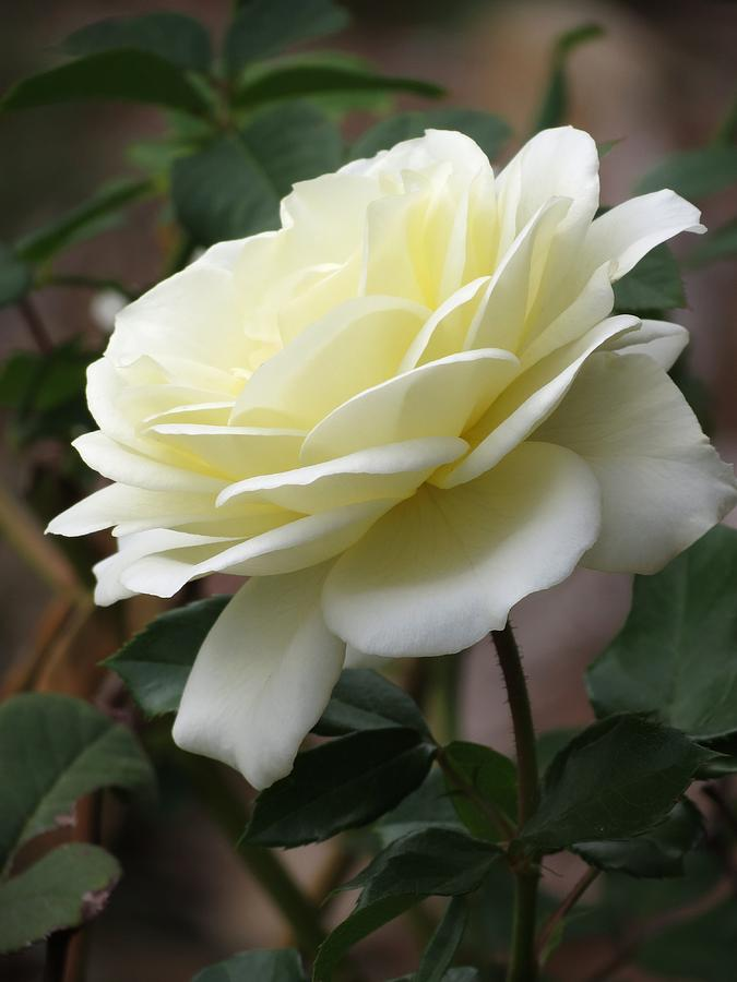One White Rose Single White Rose Phot...