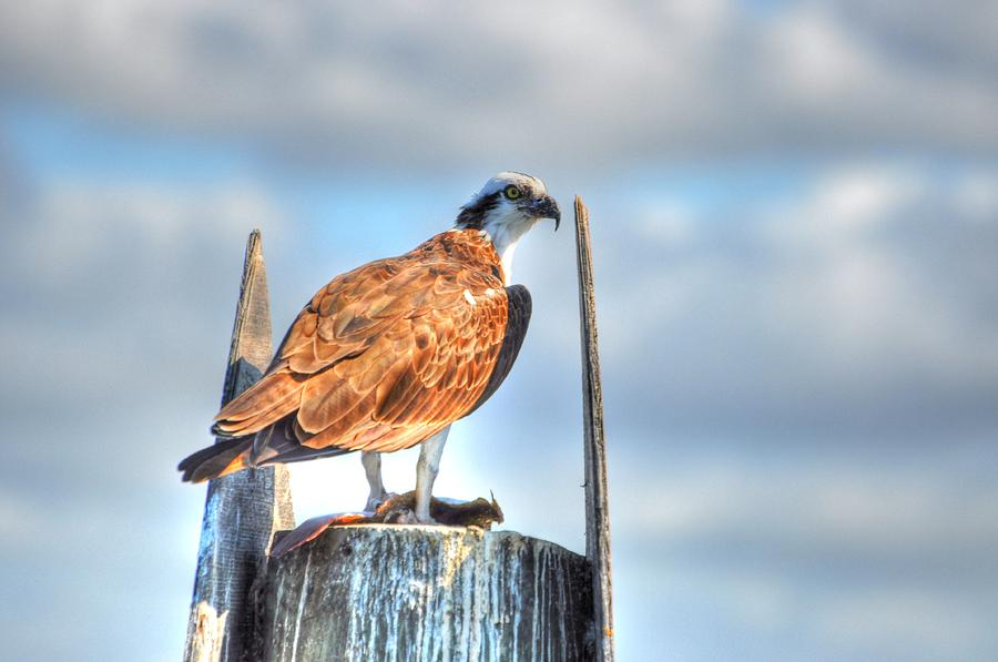 Great Blue Heron Digital Art - Sitting by Barry R Jones Jr