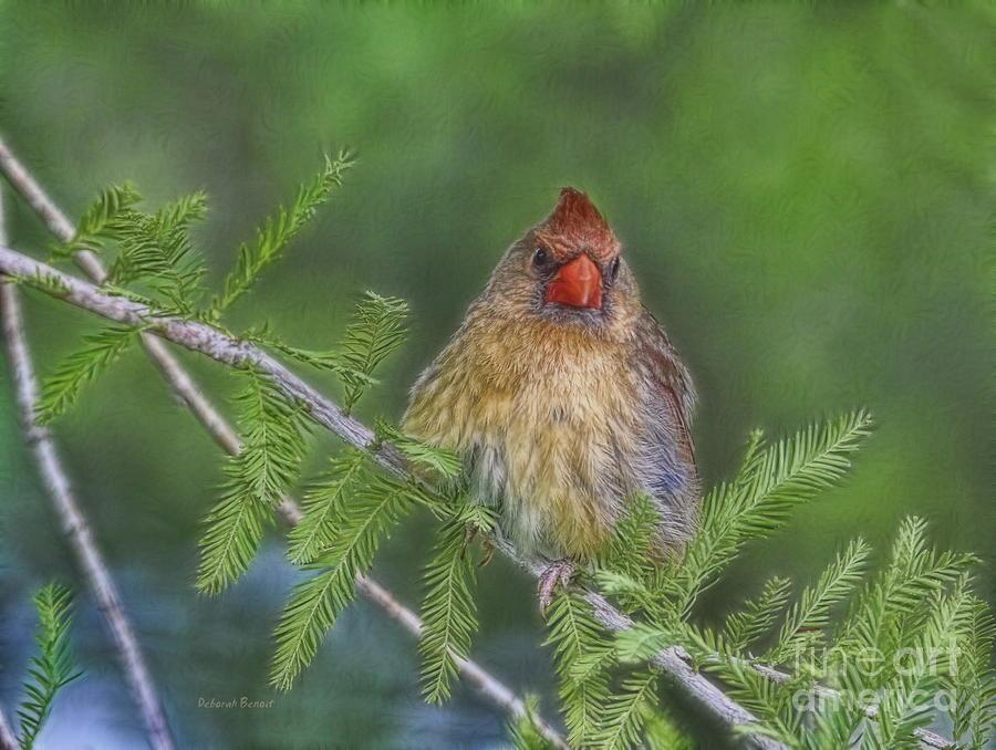 Cardinal Photograph - Sitting In The Cedar by Deborah Benoit
