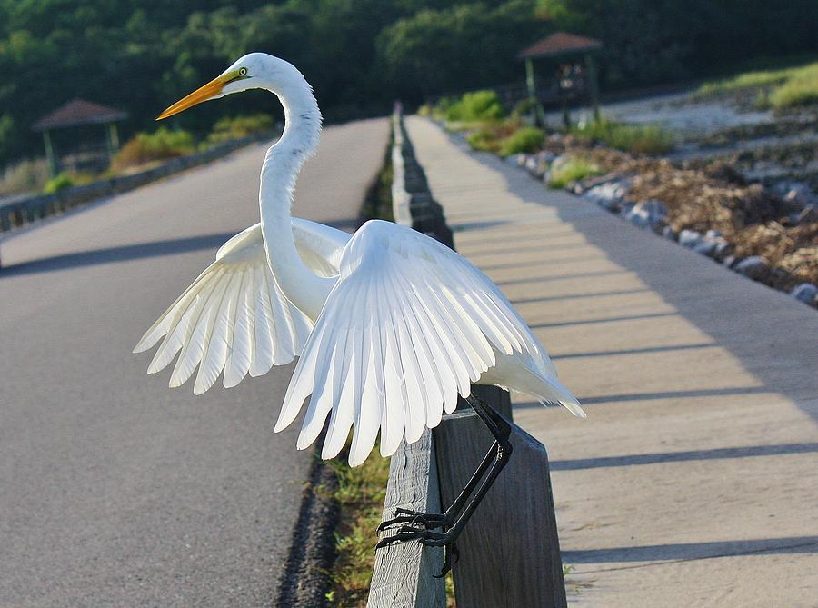 Great White Egret Photograph - Sitting On The Fence by Paulette Thomas