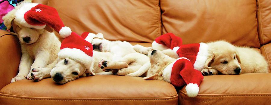 Horizontal Photograph - Six Puppies Sleep On Sofa, Some Wear Santa Hats by Karina Santos