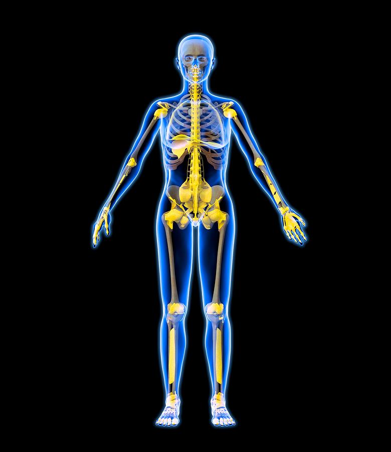 Human Photograph - Skeleton And Ligaments, Artwork by Roger Harris
