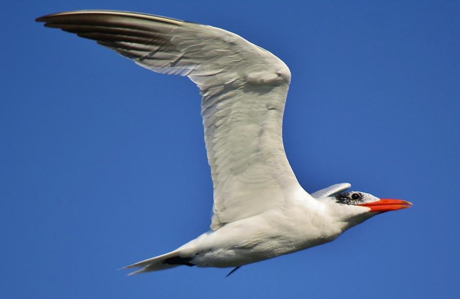 Skimmer Photograph - Skimmer In Flight by Paulette Thomas