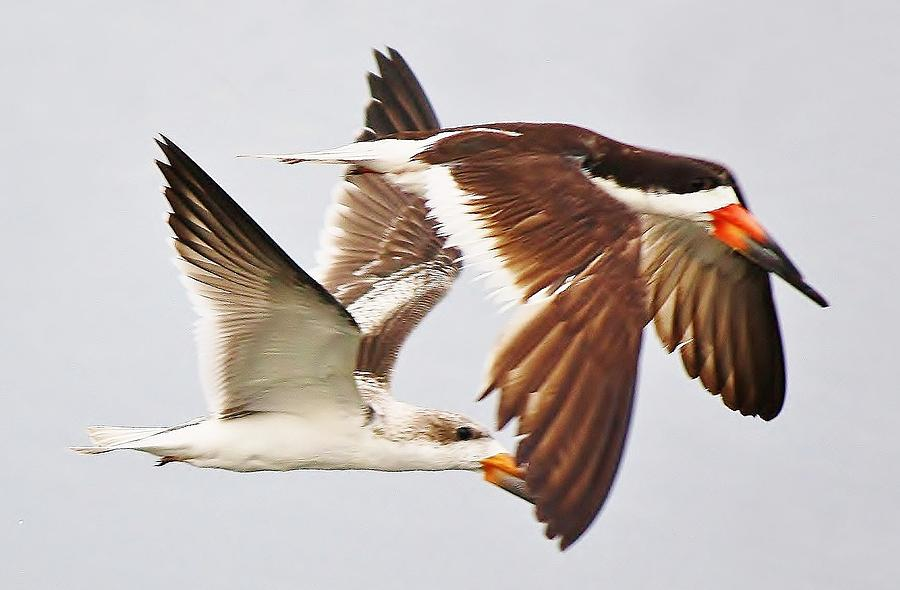Skimmer Photograph - Skimmers by Paulette Thomas