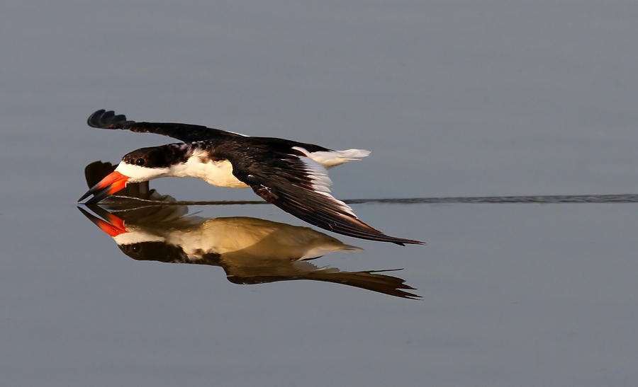 Black Skimmer Photograph - Skimming Run by Phil Lanoue