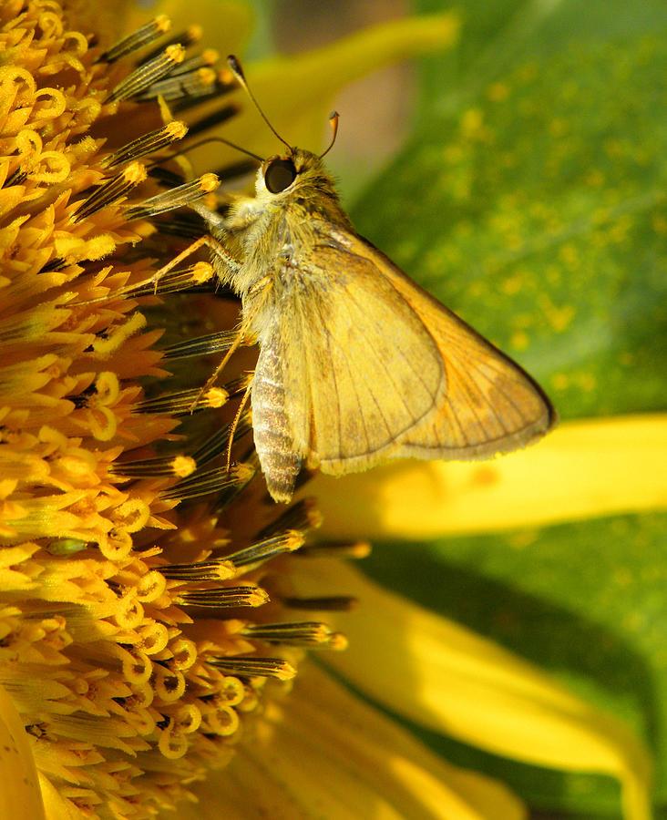 Skipper Photograph - Skipper And Sunflower by Sandi OReilly