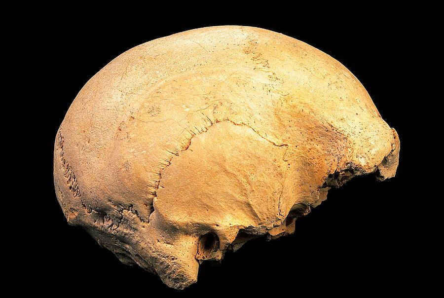 Homo Heidelbergensis Photograph - Skull 4, Sima De Los Huesos by Javier Truebamsf