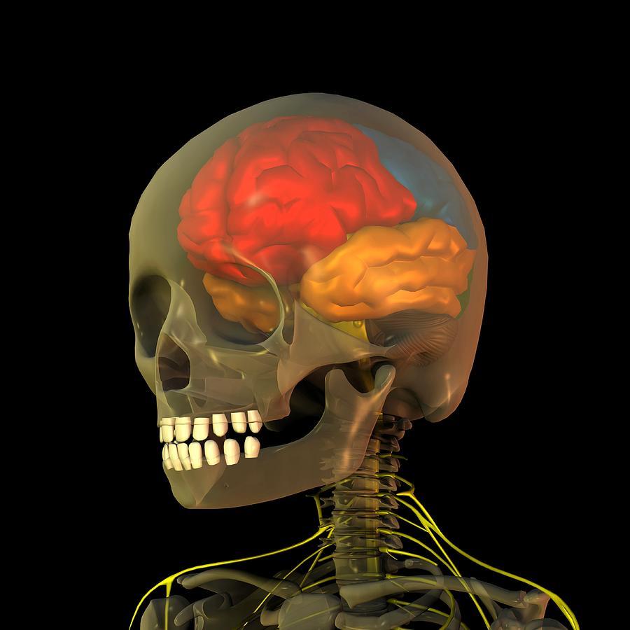 Skull And Brain Anatomy, Artwork Photograph by Friedrich Saurer