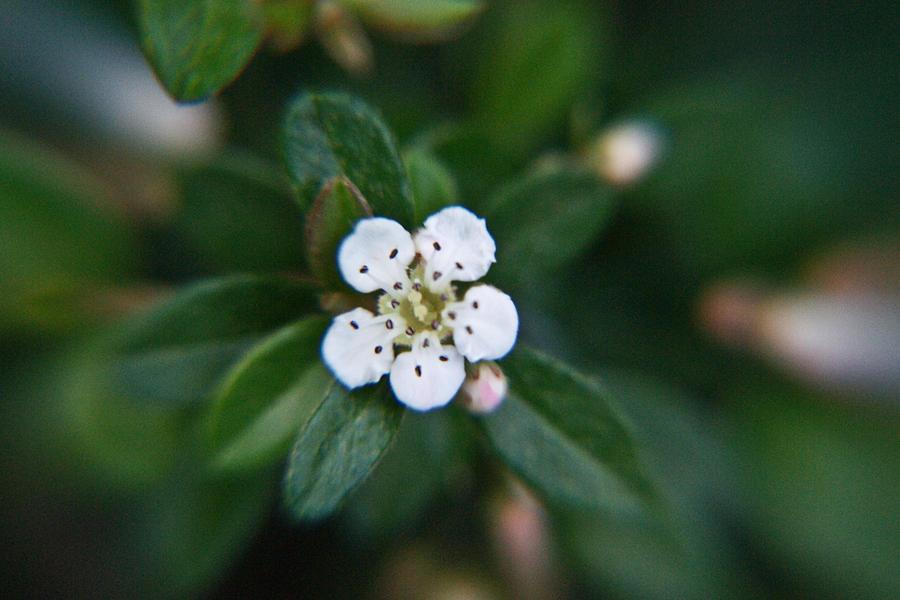 Rosaceae Photograph - Skull Ghost Flower 2 by Douglas Barnett