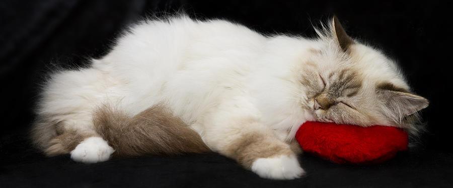 Pillow Photograph - Sleeping Birman by Melanie Viola