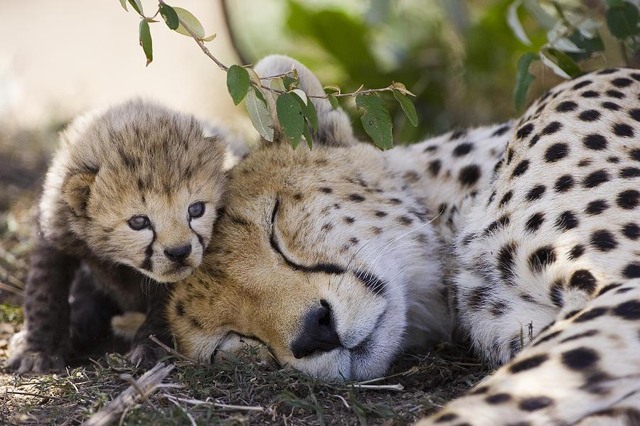 sleeping cheetah and cub kenya photograph by suzi eszterhas