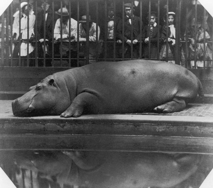 Horizontal Photograph - Sleeping Hippo by Count De Montizon