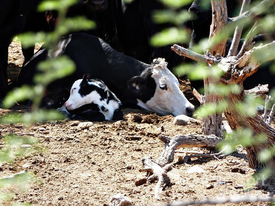 Arizona Photograph - Sleepy Arizona Cows by Methune Hively