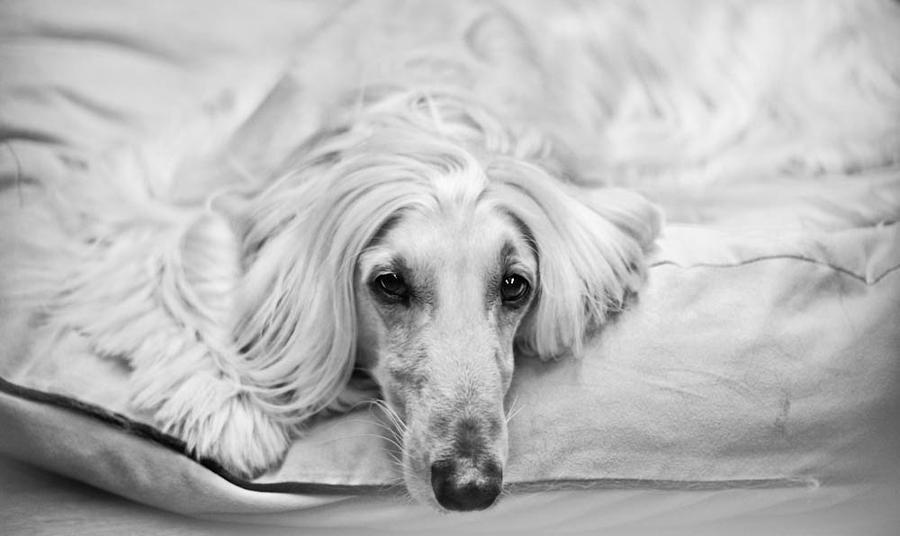 Afghan Hound Black And White Relaxing Photograph - Sleepy Beauty by Asta Viggosdottir