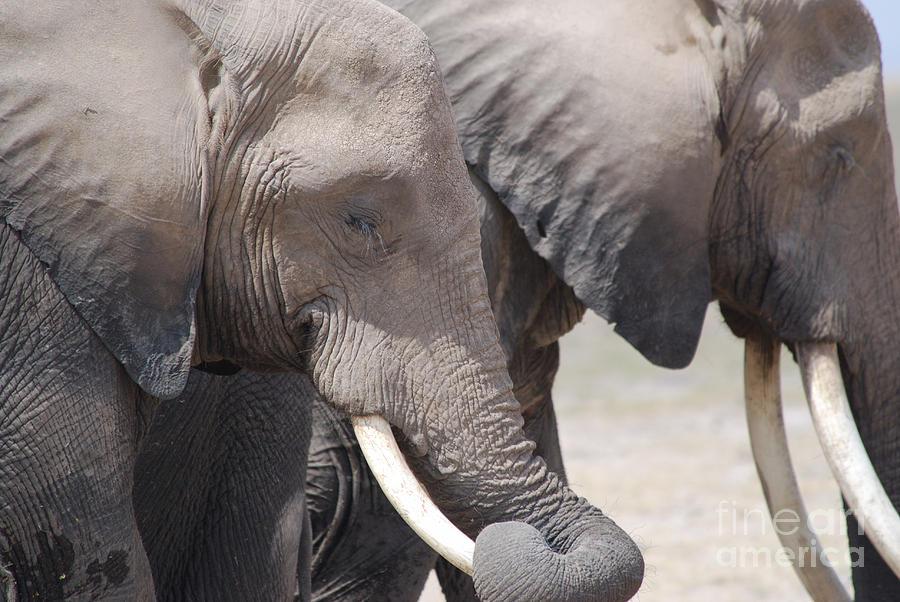 Elephants Photograph - Sleepy Elephants by Alan Clifford