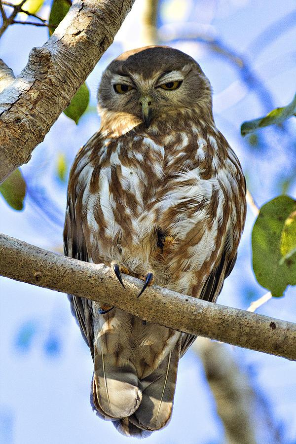 Barking Owl Photograph - Sleepy Eyes by Douglas Barnard