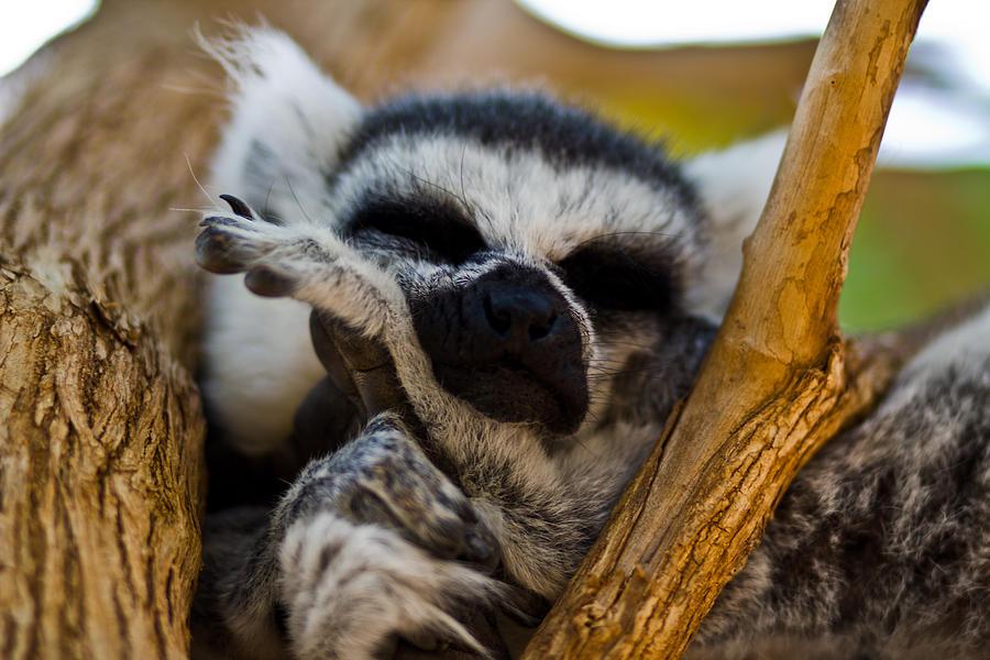 Cute Photograph - Sleepy Lemur by Justin Albrecht